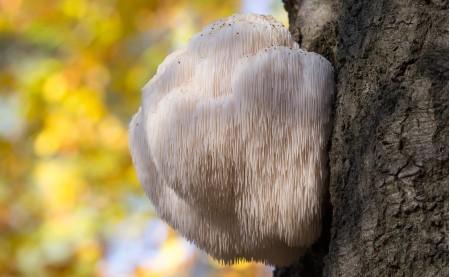Ежовик гребенчатый (Hericium erinaceus)